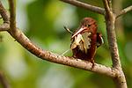 White-throated Kingfisher (Halcyon smyrnensis) with frog prey, Diyasaru Park, Colombo, Sri Lanka