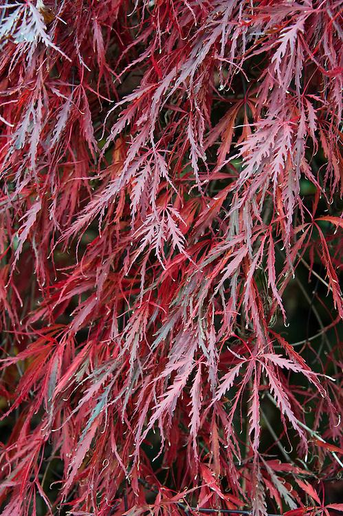 Acer palmatum var. dissectum 'Inaba-shidare', early November.