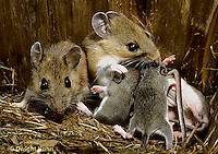 MU28-135z  White-Footed Mouse - nursing 10 day old young -  Peromyscus leucopus