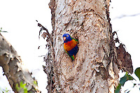 Rainbow Lorikeet, Cairns, Queensland, Australia