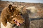Husky (Canadian sled dog) in Qikiqtarjuaq, Nunavut, Baffin Island, Northern Canada.