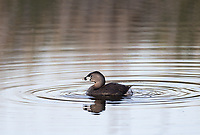 This was my first time photographing the small Pied-billed Grebe at Market Lake.
