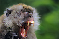 Long-tailed macaque (Macaca fascicularis) yawning, tropical forest S.E. Asia