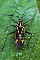 Weichwanze, Hadrodemus m-flavum, Mirid Bug, Weichwanzen, Miridae
