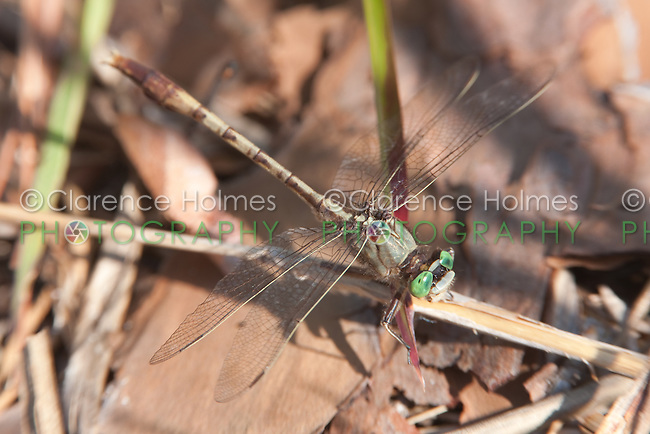 Gray-green Clubtail (Arigomphus pallidus) Dragonfly - Male, Jonathan Dickinson State Park, Hobe Sound, Martin County, Florida