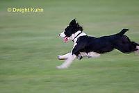 SH25-773z English Springer Spaniel Dog running