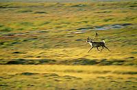 Bull caribou runs across tundra in Barrengrounds near Whitefish Lake, Northwest Territories, Canada, AGPix_0131.