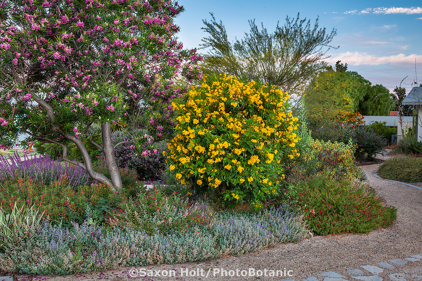 Chilopsis linearis 'Bubba' and Tecoma stans, 'Yellow Bells', small climate tolerant trees flowering in demonstration garden at South Coast Research and Extension Center; University of California ANR