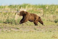 Brown Bear Boar Pursues Female, Lake Clark National Park, Alaska
