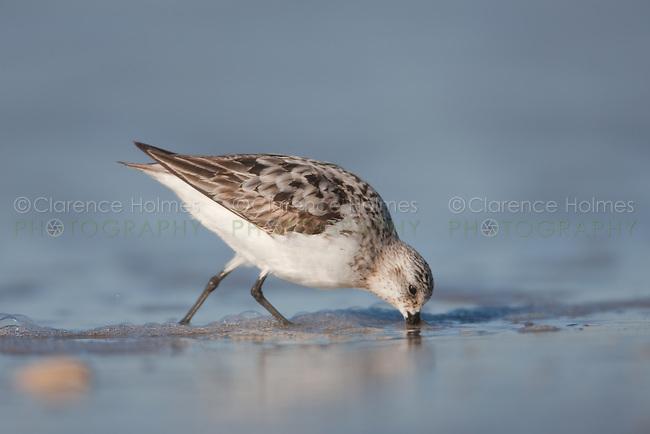 Sanderling (Calidris alba), Nickerson Beach, Lido Beach, NY