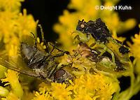 AM06-535z  Ambush Bugs mating while female feeds on insect, goldenrod flowers, Phymata americana