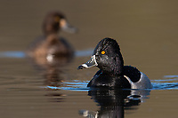 RIng-necked Duck (Aythya collaris). Washington County, Oregon. March.