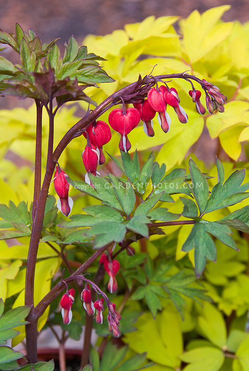 Lamprocapnos (formerly Dicentra) spectabilis 'Valentine' aka Hordival, Dicentra spectabilis Valentine in flower in spring bleeding hearts against Dicentra spectabilis Gold Heart foliage