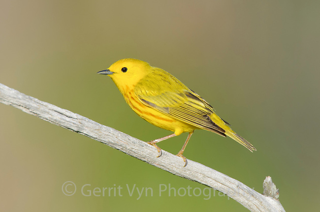Adult male Yellow Warbler (Dendroica petechia) in breeding plumage. St. Lawrence County, New York. May