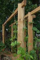 Sturdy stout wooden trellis with climbing vegetable vine Hunter bean