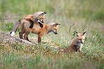 Young fox kits playing at den site