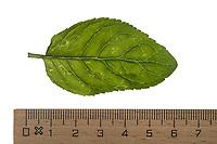Wasserminze, Wasser-Minze, Minze, Mentha aquatica, Horsemint, Water Mint, Menthe aquatique. Blatt, Blätter, leaf, leaves