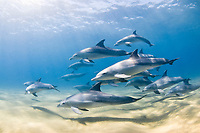 Indo-Pacific bottlenose dolphins, Tursiops aduncus, pod, Sodwana Bay, South Africa, Indian Ocean