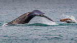 USA, Alaska, Glacier Bay National Park, humpback whale (Megaptera novaeangliae), Steller or northern sea lion (Eumetopias jubatus)