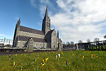 27-2-2020: Purple, yellow and white crocus plants burst through the grass on a sunny Spring morning outside St. Mary's Cathedral, Killarney on Thursday. The plants were seeded by local tidy towns  volunteers last year.<br /> Photo: Don MacMonagle
