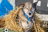 A dog from the Mats Pettersson team wakes up from under a bed of straw as it rests in the dog lot in Nome after they completed the 2017 Iditarod on Thursday March 16, 2017.<br /> <br /> Photo by Jeff Schultz/SchultzPhoto.com  (C) 2017  ALL RIGHTS RESERVED