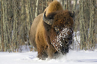 Plains Bison running through the snow