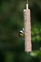Kohlmeise, an der Vogelfütterung, Fütterung, Kohl-Meise, Meise, Meisen, Parus major, great tit. Ganzjahresfütterung, Vögel füttern im ganzen Jahr