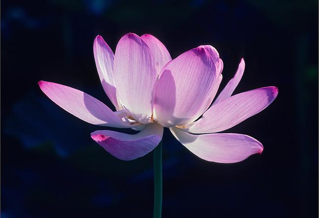 Lotus Blossom, Maryland Botanical <br /> Garden