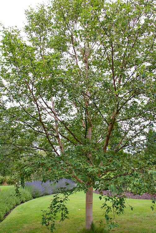 Betula 'Hergest' (hybrid birch) tree trunk bark