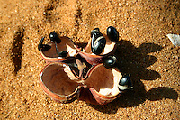 Bush Peanut Seed found near Mapoon, Cape York Peninsula