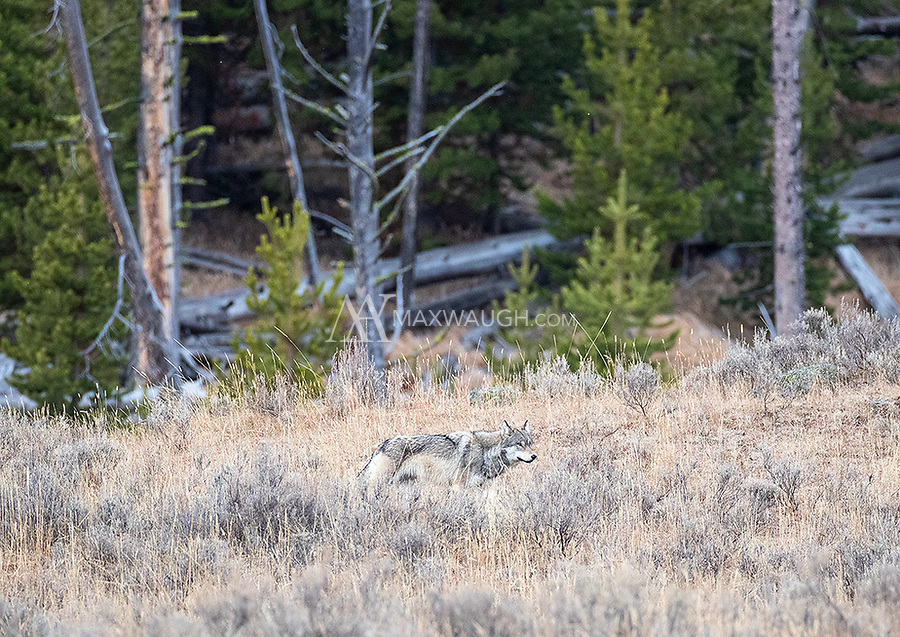 We had one decent wolf encounter, with the Wapiti Lake Pack.