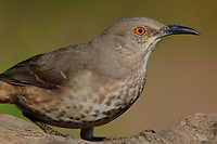 Adult Curve-billed Thrasher (Toxostoma curvirostre) of the Eastern T. c. curvirostre subspecies group. Notice the conspicuous breast spotting compared to Western birds. Hidalgo County, Texas. March.