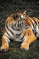 Mature Siberian tiger lounges on grass in shade. Body and front legs point almost toward camera; head turns almost to right profile. St. Louis Missouri USA Zoo.