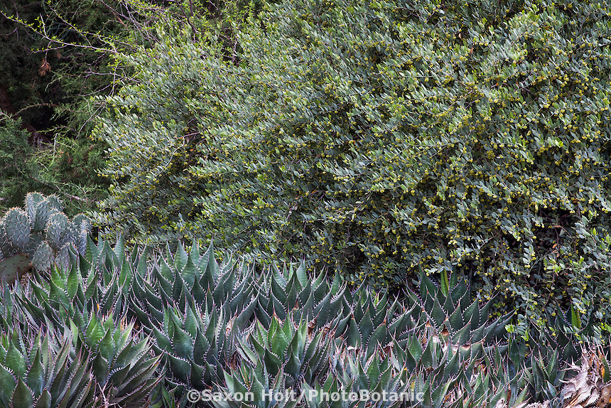 Simmondsia chinensis, or Jojoba, gray foliage California native shrub with Agave at Rancho Santa Ana Botanic Garden