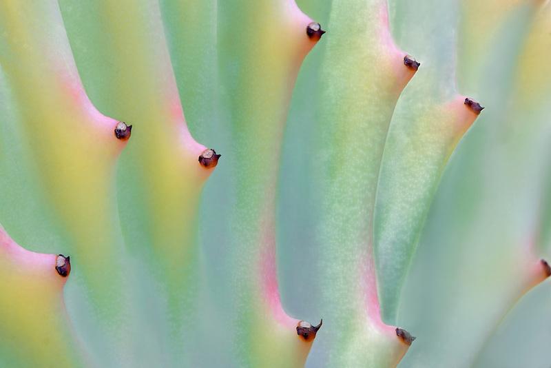 Succulent - Elkhorn (Euphorbia lactea) close up. Oregon