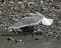 Mew gull at Savage River in June