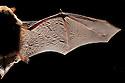 Common Pipistrelle Bat wing (Pipistrellus pipistrellus), backlit to show bone stucture. Dead speciman. Derbyshire, UK.