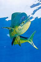 mahi-mahi, dorado, or dolphin fish (pelagic), Coryphaena hippurus, large bull (male) in golden color phase, with copepod parasites, Louisiana, USA, (Gulf of Mexico)