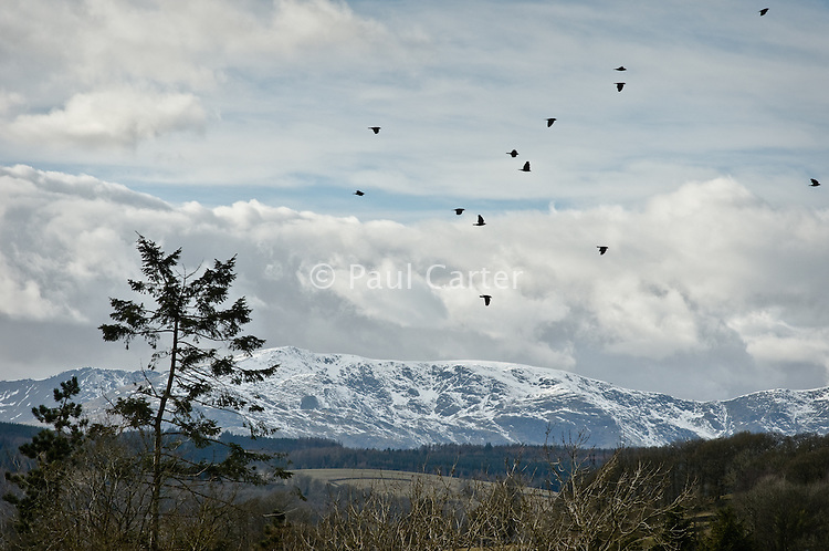 Birds flying,  with snow covered hills in the background..Views on circular walk from The Ferry House on Lake Windermere to Far Sawrey and back.