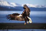 Coming into a winter breeze blowing off the Gulf of Alaska, a bald eagle will land on its perch to hunt for fish.