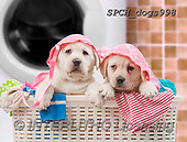 Xavier, ANIMALS, REALISTISCHE TIERE, ANIMALES REALISTICOS, dogs, photos+++++,SPCHDOGS998,#A#, EVERYDAY