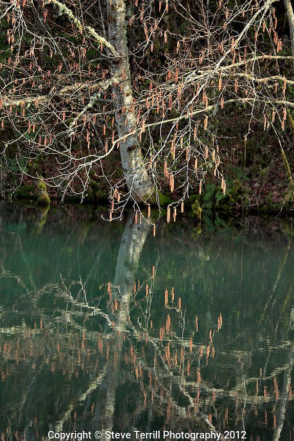Alder tree reflecting in Redwing pond Oregon