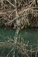 Alder tree reflecting in Redwing pond Oregon
