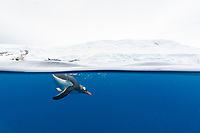 gentoo penguin, Pygoscelis papua, underwater in clear water in Lindblad Cove, Trinity Peninsula, Antarctica, Southern Ocean