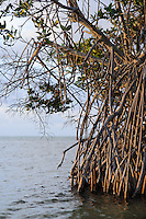 Red Mangrove (Rhizopora mangle) on Little Cayman