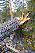 Twisted softwood tree during the spring months in Albany, New Hampshire.