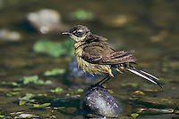 Yellow Wagtail, Motacilla flava,adult, Scrivia River, Italy, May 1997