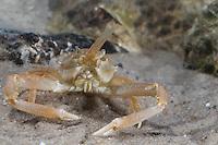 Antennenkrebs, Männchen, Antennen-Krebs, Maskenkrabbe, Masken-Krabbe, Corystes cassivelaunus, Corystes dentatus, masked crab, helmet crab, sand crab, male