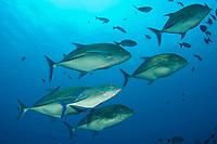 Bluefin Trevally Caranx melampygus Clipperton Island