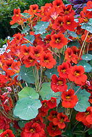 Flowers and leaves of Nasturtium Empress of India with many red orange blooms and foliage plant habit, annual climbing vine